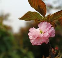 一朵粉色的樱花