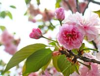 樱花逆光摄影