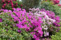 园林花卉杜鹃花花丛