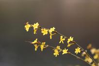 绽放的水边迎春花花枝