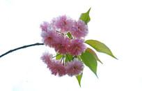 枝头开满樱花的枝条