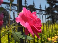 粉色盛开的月季花