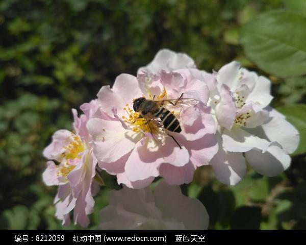 采花的小蜜蜂