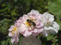 粉色月季花蕊上的蜜蜂