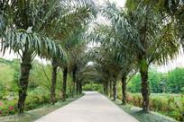 公园里的棕榈小道