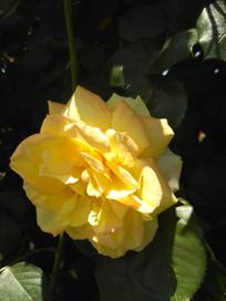 含羞盛开的黄色月季花