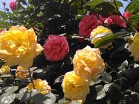 红黄月季花