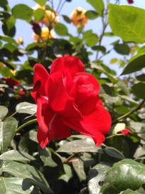 红色盛开的月季花