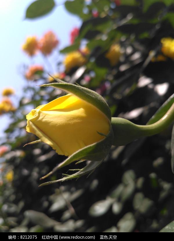黄色月季花骨朵