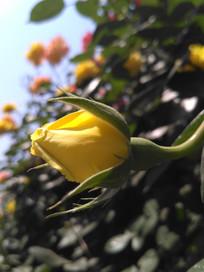 黄色的月季花骨朵