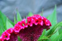 鸡冠花和蚱蜢