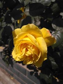 路边盛开的黄色月季花