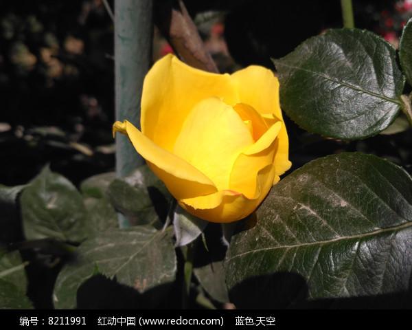 半开的黄色月季花
