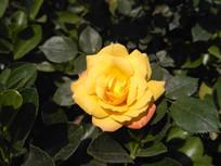 绿叶围绕的黄色月季花