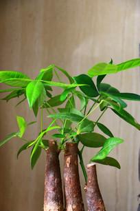 盆栽发财树