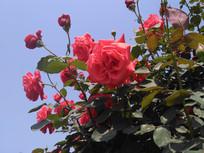 盛开的红色月季花