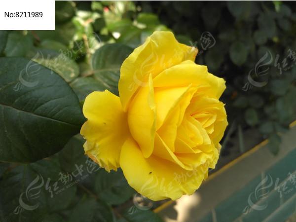 盛开的黄色月季花