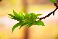 初春绿芽叶特写图