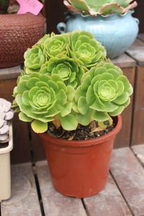 绿色莲花多肉植物照片