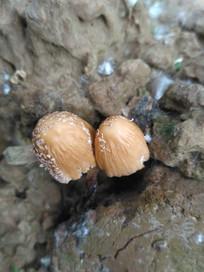 破土而出的野生蘑菇