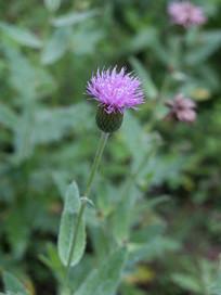 一朵紫色的刺儿菜花