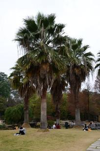 草地上的椰树
