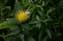 黄色金银花花蕊