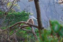 黄山树梢可爱的猴子