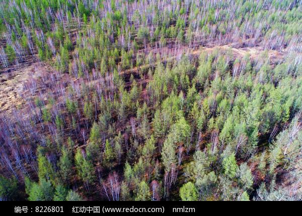 大兴安岭森林早春风景 航拍 图片