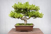 黄杨艺术盆景