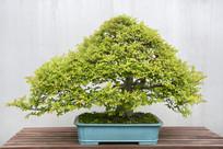 榔榆盆景艺术