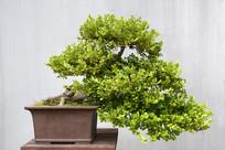 老树黄杨盆景