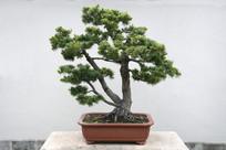 松树艺术盆景