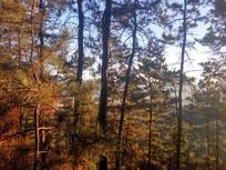 晨光中的松树林