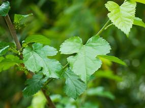 绿色的桑树叶