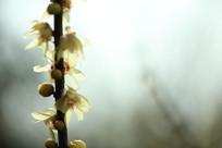 初春的腊梅
