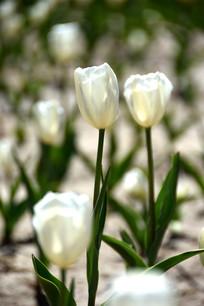 纯情的白色郁金香