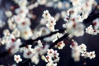 簇拥枝头的梅花