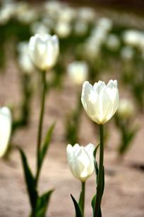 淡雅的白色郁金香