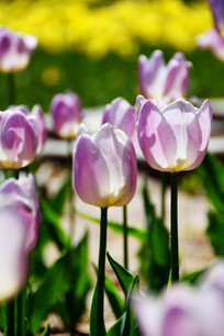 淡紫色郁金香