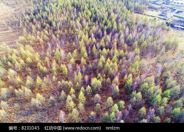 大兴安岭早春树林航拍 图片