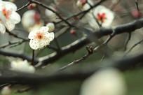 冬日的梅花