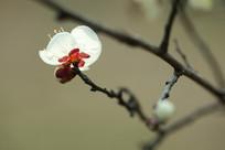 独立寒秋的梅花