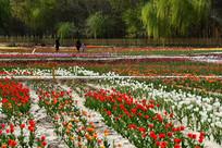 防护林中的多彩郁金香园