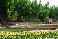 防护林中五彩郁金香园