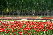 防护林中郁金香园