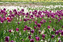 浪漫的紫色郁金香花田