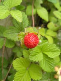 路边野草莓