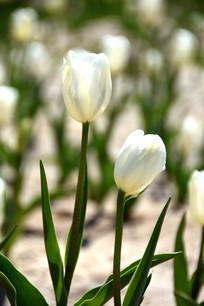 婀娜的白色郁金香