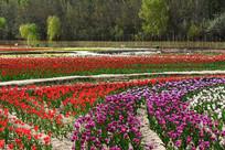 五彩斑斓的郁金香园
